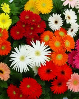Gerbera Flower Plant Indian