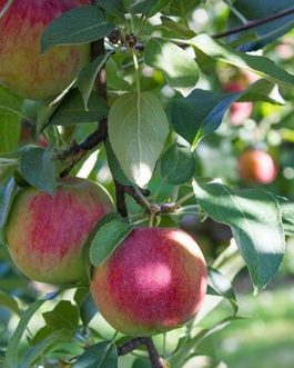 Apple Tree Plant