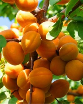 Apricot Fruit Tree Plant