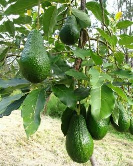 Avocado Fruit Plant