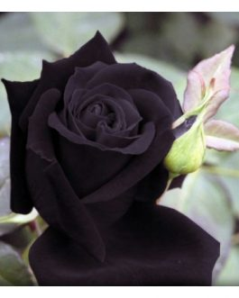 Black Rose Plant All Season