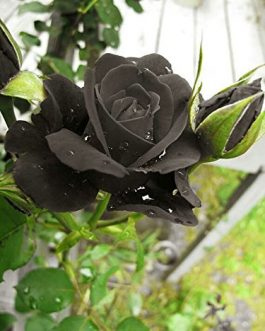 Black Rose Plant-Seasonal