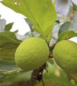 Breadfruit Tree Plant