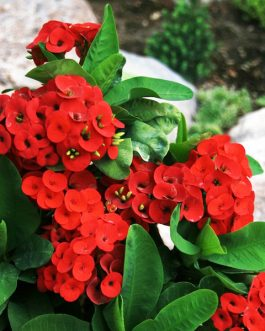 Euphorbiya Red Plants