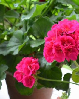 Geranium Flower Plants