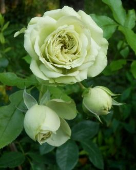 Green Rose Flower Plant