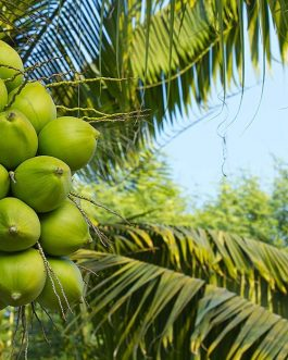 Hybrid Coconut tree-10