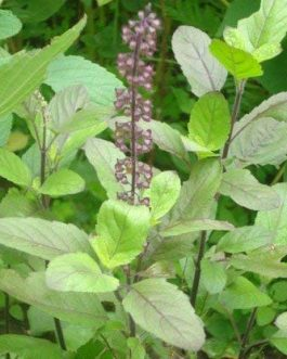 Indian Tulsi Plant