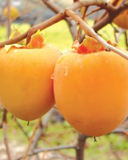 Japanese Persimmon Fruit Plant