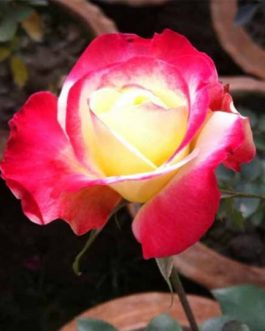Kushum Colour Rose Plant