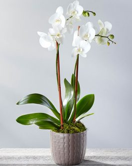 Orchid Flower Plant