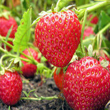Strawberry Fruit Plant