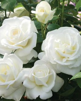 White Rose Flower Plants