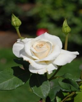 Double White Rose plant